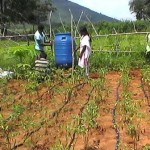 Kama Jani ( Multi farming field -Chilly cultivation with Drip irrigation )