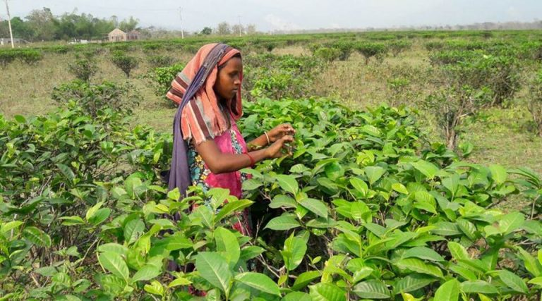 Closed Tea Gardens in West Bengal